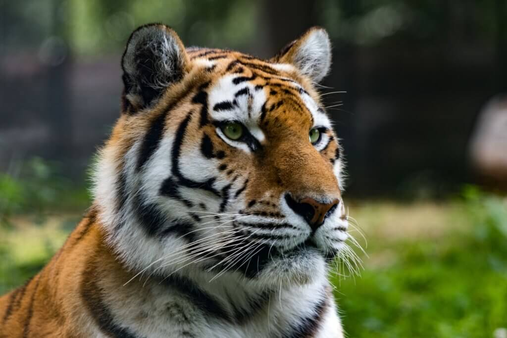 tiger population has increased in 2020