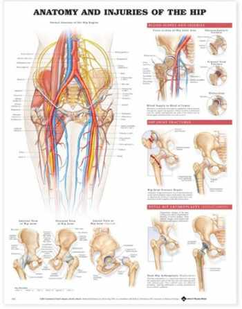 9781587793837-1587793830-Anatomy and Injuries of the Hip Anatomical Chart
